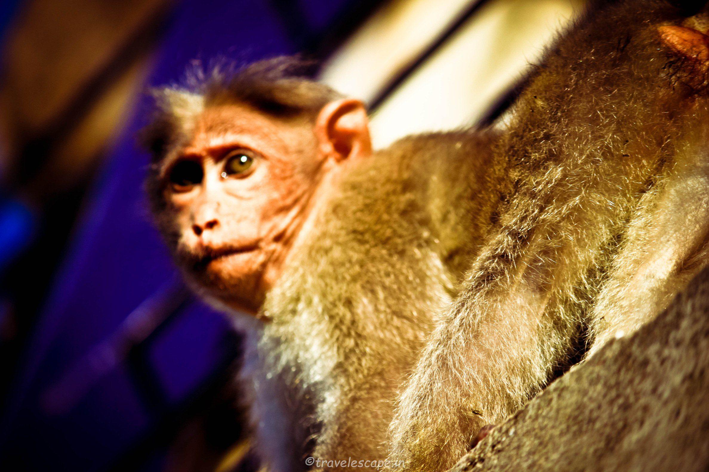 Yercaud Monkey