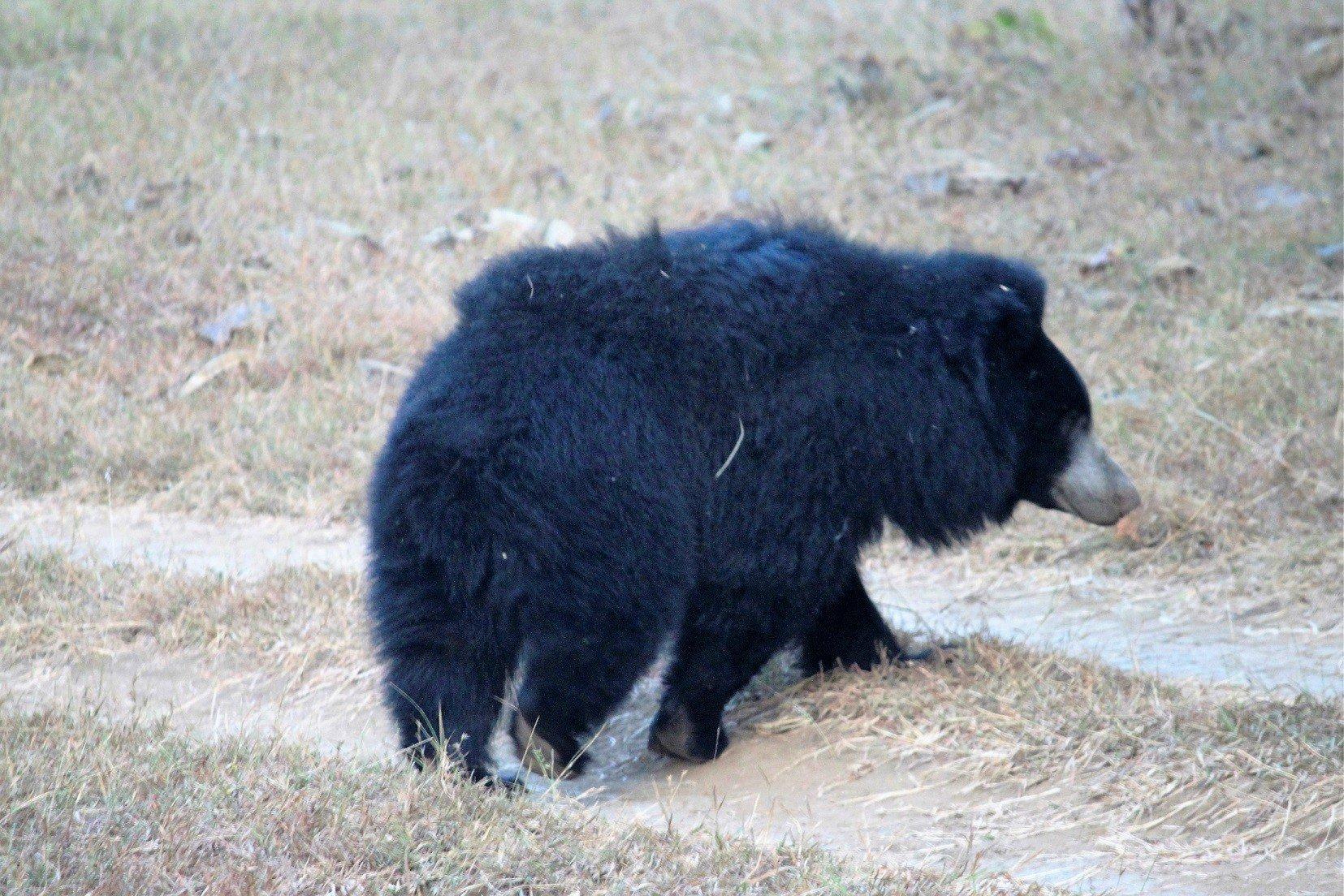 Satpura National Park-Sloth Bear