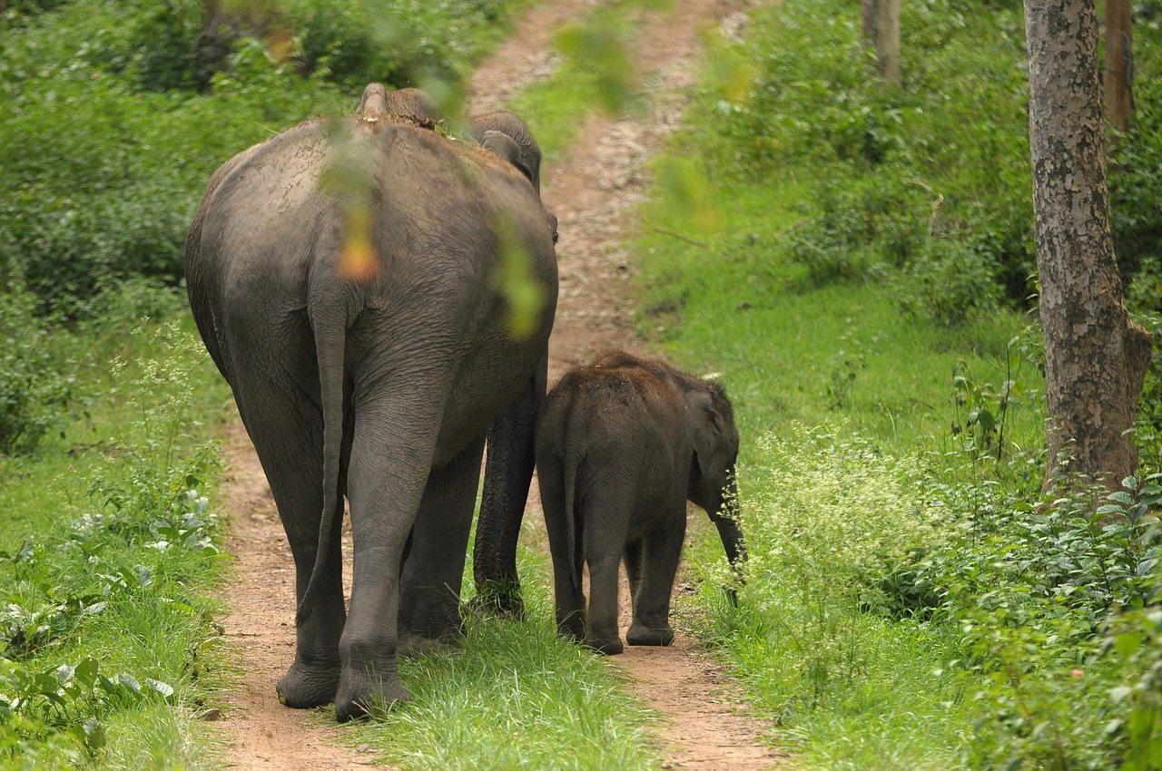 mother-calf-elephant-family
